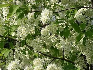 Baum Mit Weißen Blüten : hallo suche einen bestimmten busch baum garten datenbank ~ Michelbontemps.com Haus und Dekorationen