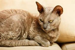 pharaoh cat dementia in cats symptoms care and treatment