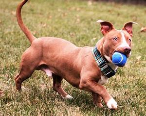 Pitbull Dachshund Mix – Guide, Temparament and The Popular ...