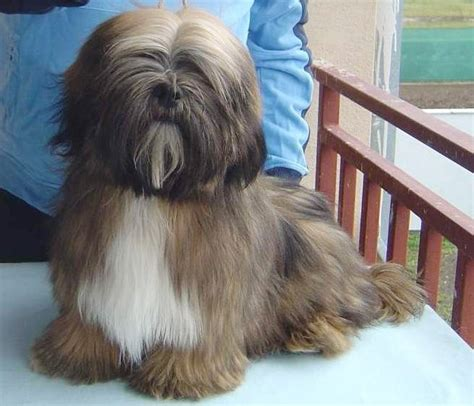 lhasa apso brown and white looks like my dog gonzo
