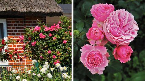 Secretele trandafirilor: când se plantează cea mai populară floare de grădină - Agromedia