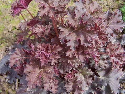 10 Garden Plants With Red Leaves Boldskycom