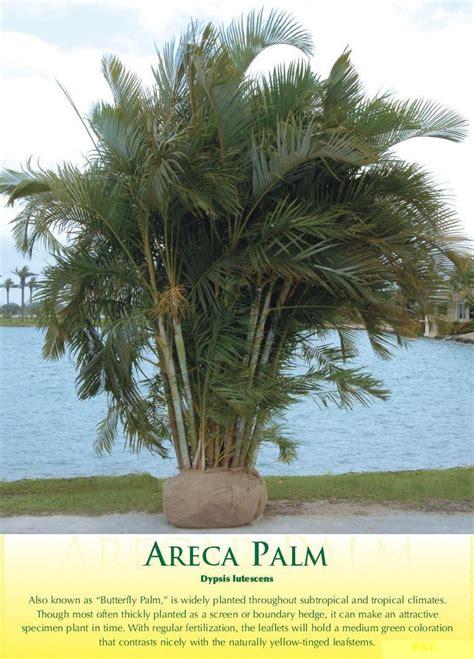 areca palm  wk landscapes saint louis missouri