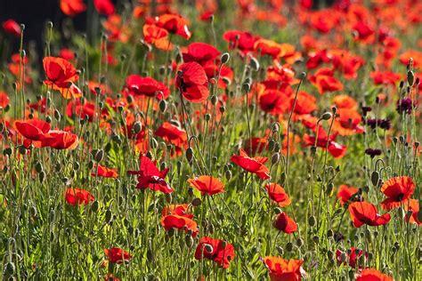 pics of poppy plants plants for kids poppy rhs gardening
