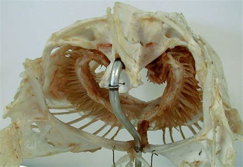 skull grouper posterior cod