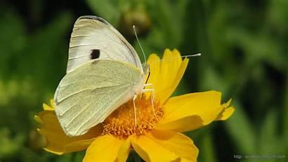 Yellow Butterfly Flower Wallpapers Flowers Windows Butterflies