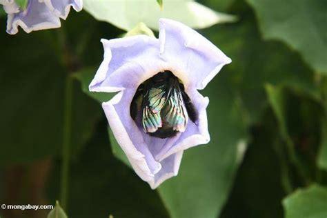 giant black bee feeding  morning glory flower nectar java