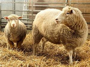 Where Dolly the cloned sheep is now - Business Insider
