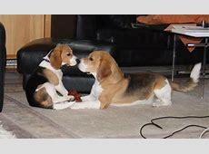 Beagle vom Deistertal Züchter unter dem BCD, VDHFCI