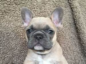 French Bulldogs  Cute  But Health Issues Abound