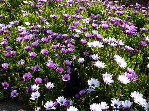 osteospermum dimorphoteca marguerite du cap plantation entretien
