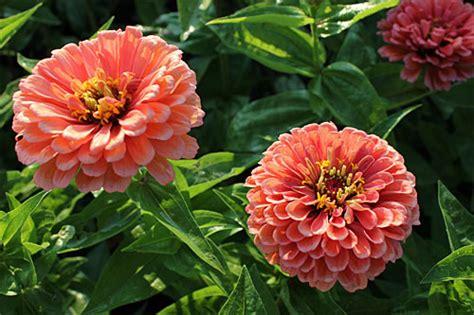 growing annual flowers  seed gardeners supply