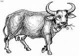 Buffalo Coloring sketch template