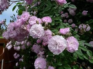 Cómo podar un rosal Jardinería Marve