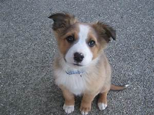 collie australian shepherd mix | Pets! | Pinterest ...