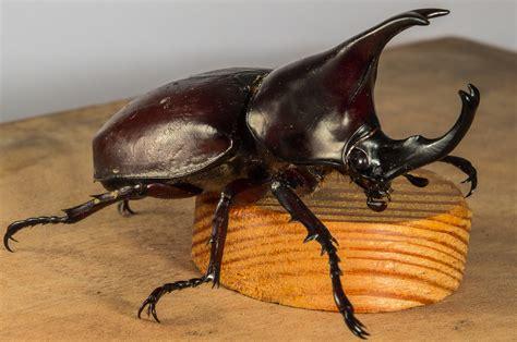 gratis afbeeldingen hoorn insect fauna ongewerveld