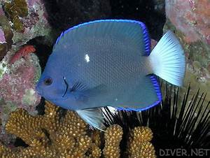 Update on the seized Clipperton angelfish, Holacanthus ...
