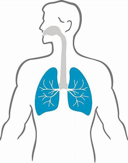 Human Lung Lungs Vector Illustrations Clip Heart
