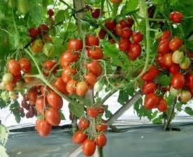 panduan lengkap praktis budidaya tomat budidayakita