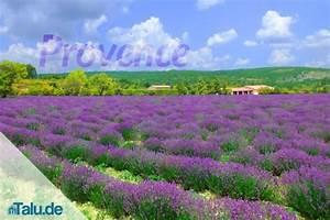 Lavendel Pflanzen Balkon : lavendel der ideale standort im garten und auf dem ~ Lizthompson.info Haus und Dekorationen