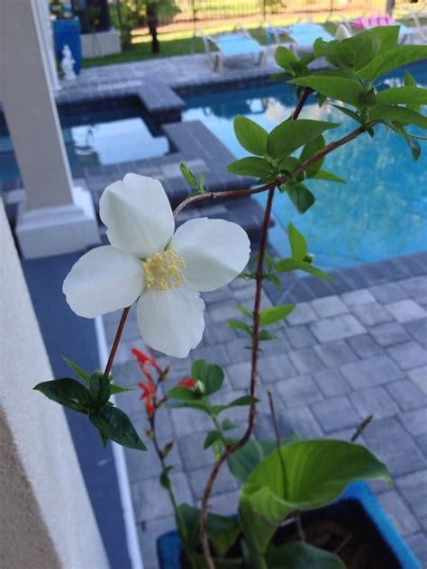 identify white  petal vine flowers forums