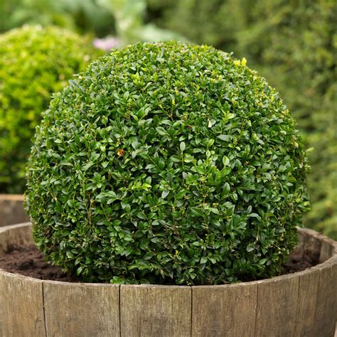 Buxus sempervirens Google Search sample photo for Glen