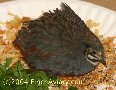 quail food recipes food