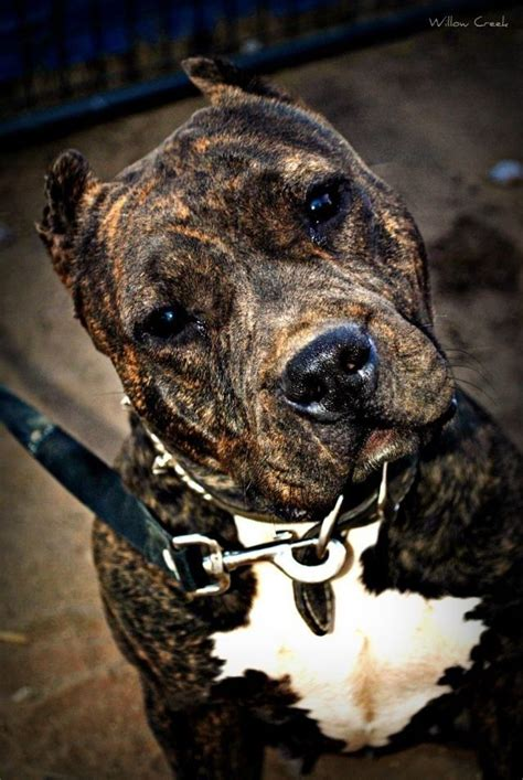 pitbull colors american pit bull terrier that s the quot i you