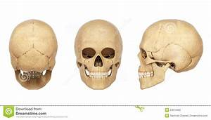 Human Anatomy Diagram: White Human Skull Anatomy Sample ...