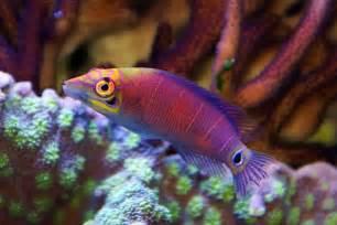 Reef Safe Wrasse Fish
