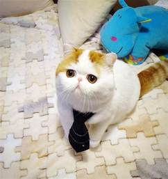 world s cutest cat snoopy cat the most cutest cat breed in world cutest cats