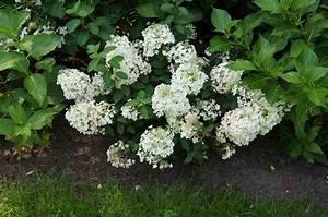 Hydrangea Paniculata Schneiden : hortensien pflanzen hortensien pflanzen infos ~ Lizthompson.info Haus und Dekorationen
