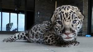 Diagram Of A Jaguar Animal