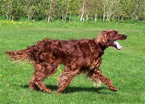 Razze Cani Setter Irlandese Rosso