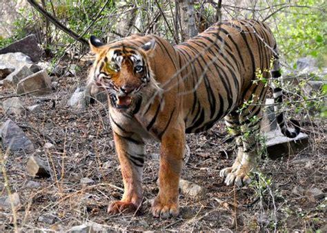 Lass Ihn Raus Den Tiger by Raus Aus Der Wildnis Menschen Verlassen Tiger Reservat