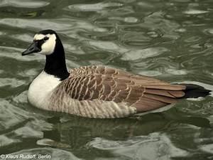 Giant Canada Goose Branta Canadensis Maxima Canada Goose Langford Parka Replica Discounts