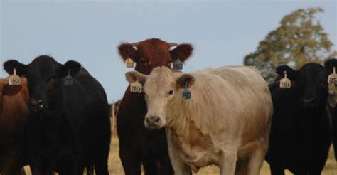 cattle gain  forage beef magazine