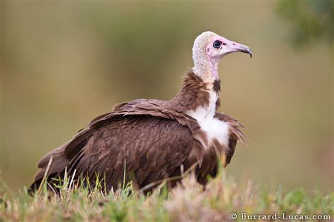 hooded vulture burrard lucas photography