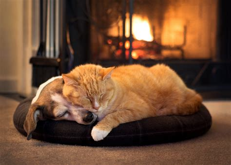 dogs for fireplaces and cat by fireplace animal