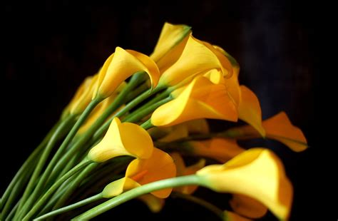 yellow calla flower yellow calla lilies flowers hd wallpaper flowers wallpapers