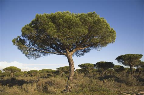 tuscan tree types growing the italian stone pine in the home garden