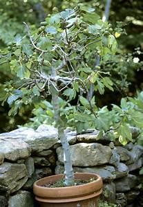 Planter Un Figuier : figuier planter et tailler ooreka ~ Melissatoandfro.com Idées de Décoration
