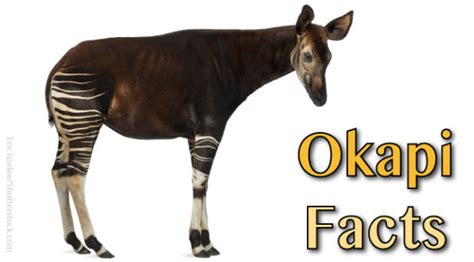 okapi facts and information pictures habitat video more