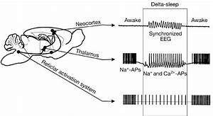 Thalamic Relay Neurones Induce Cortical Delta Activity