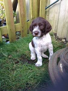 German Wirehaired pointer puppies for sale   Canterbury ...