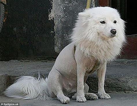 pets    subjected   wacky haircuts