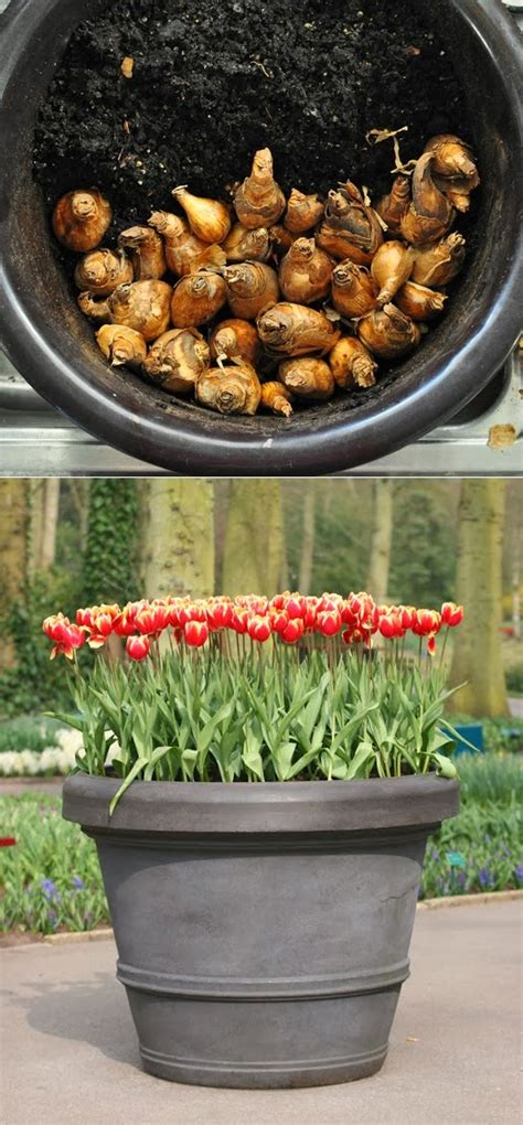 how to grow tulips in a pot alternative green world