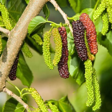 mulberry tree no fruit 26 best images about black beauty fruiting mulberry tree bush form semi dwarf on pinterest