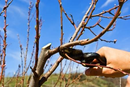 pruning  plum tree tips  instructions