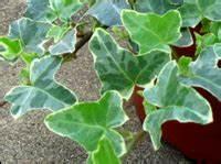 Efeu Pflanzen Kaufen : efeu kaufen winterharte efeu arten zimmerefeu online bestellen ~ Buech-reservation.com Haus und Dekorationen